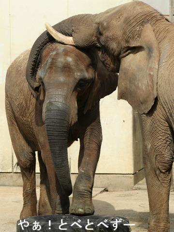 日本いちのアフリカゾウのお母さん象:リカさん(推定33歳)