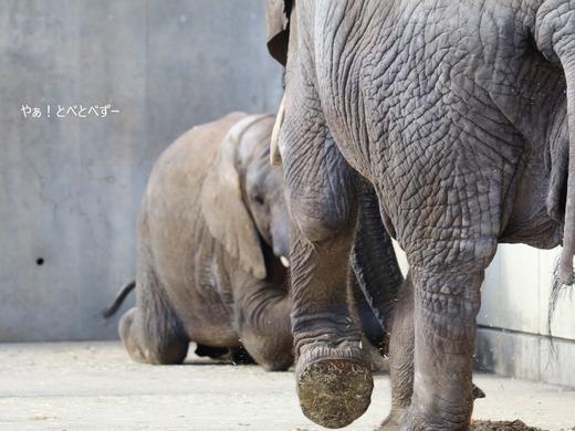 アフリカゾウの足の裏