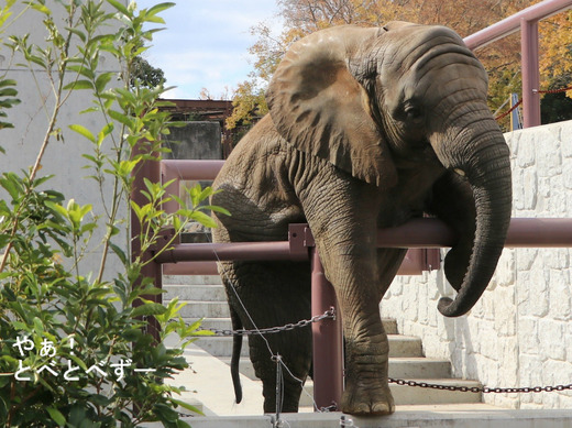 日本で唯一アフリカゾウの子象が見られる愛媛とべ動物園