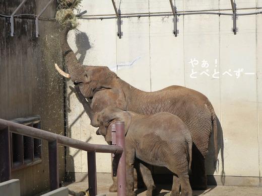 とべ動物園アフリカゾウ:環境エンリッチメント