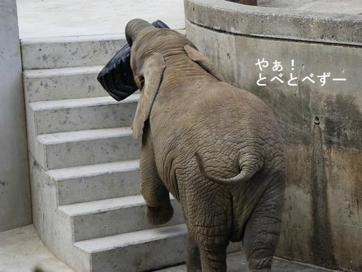 タイヤを担いで階段を登るアフリカゾウの子象の砥愛ちゃん