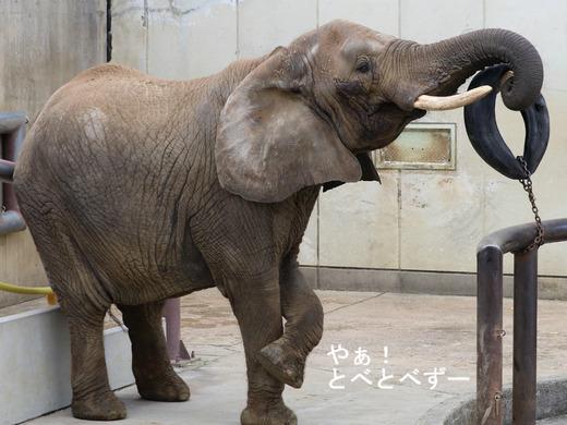 3頭の仔象を育てた日本一のお母さんゾウ:リカさん(とべ動物園)
