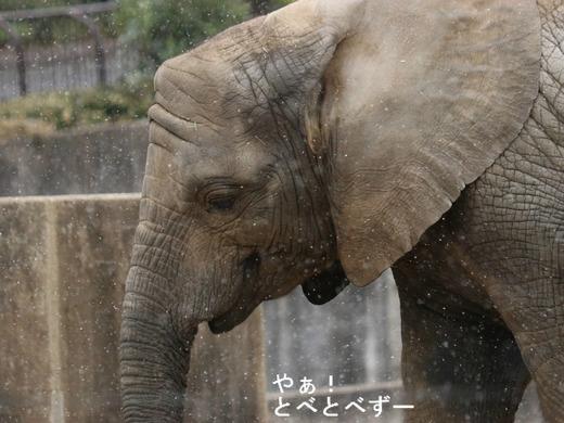 雪の日の、とべ動物園アフリカゾウ