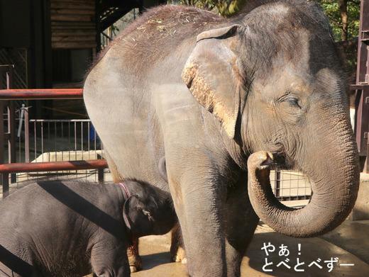 インドゾウの赤ちゃんの授乳姿:やぁ!とべとべずー