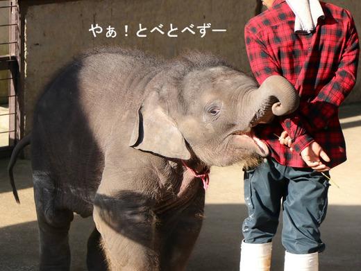 ゾウ使いのお兄さんと遊ぶ、赤ちゃんゾウの、もも夏