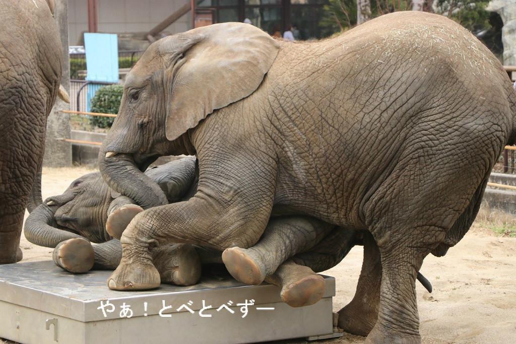やぁ!とべとべずー与茂駄(よもだ)くあとろ ~とべ動物園で暮らすアフリカゾウのブログ~                        ケニッシュ