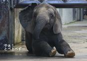 地元のローカルTVにアフリカゾウの写真を使って貰いました