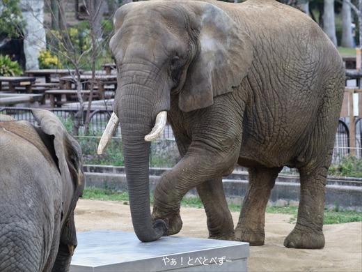とべ動物園アフリカゾウ:リカ母さん(メス、推定35歳)