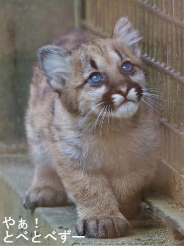 愛媛県立とべ動物園ピューマの赤ちゃん:ピュータ(父)、ラフ(母)