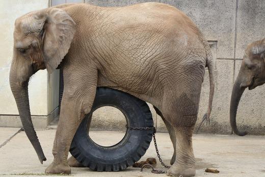 アフリカゾウの媛ちゃんのお誕生会は2019.11.9開催です