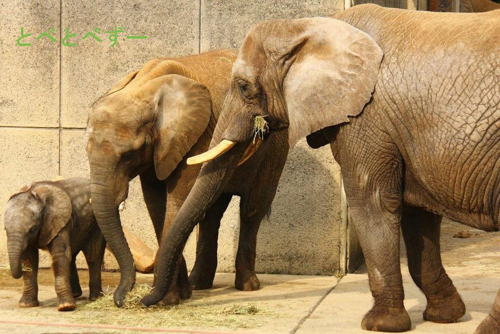 アフリカゾウの画像 p1_34