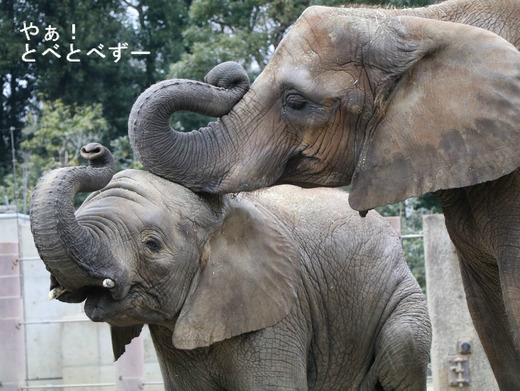 とべ動物園アフリカゾウ:アフ、リカ、砥夢、媛、砥愛