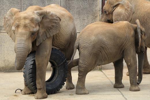 アフリカゾウ、アジアゾウ大好きブログ:やぁ!とべとべずー