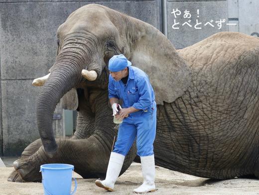 とべ動物園ブログ:ゾウ、ホッキョクグマ、レッサーパンダ、ライオン