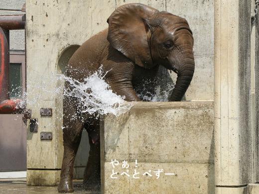 アフリカゾウの子象の砥愛ちゃんの水浴び