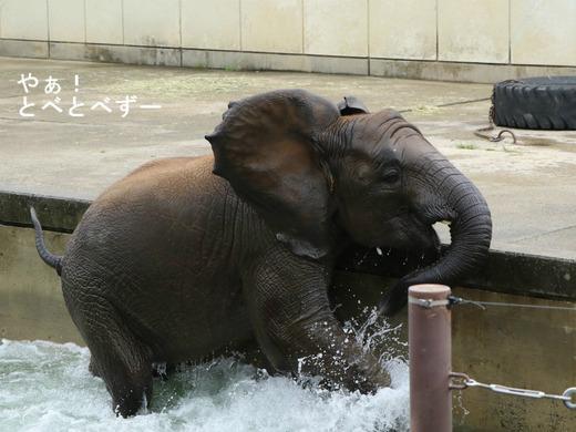 プールで遊ぶアフリカ象の子ゾウの砥愛ちゃん