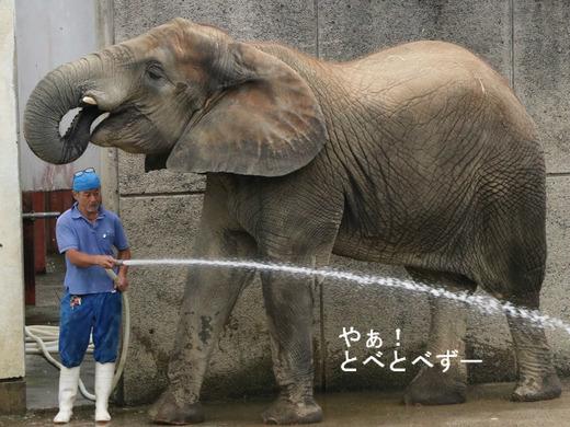 アフリカゾウのレジェンド飼育員さんと媛ちゃん