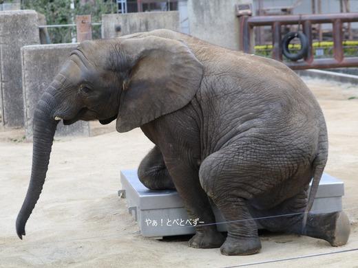 とべ動物園アフリカゾウ:砥愛ちゃん(メス、7歳)