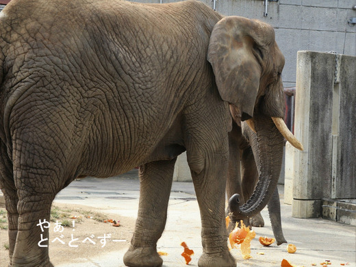 アフリカゾウの写真満載のブログ:やぁ!とべとべずー