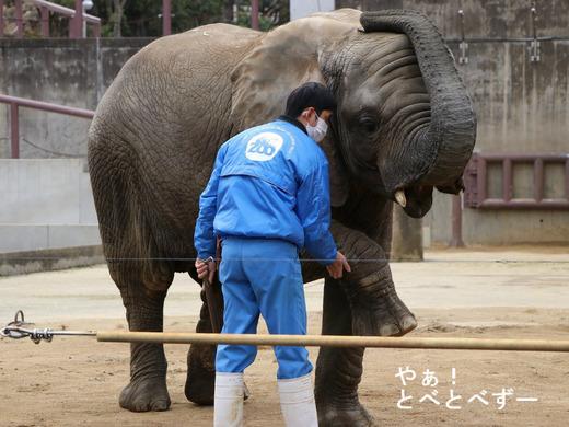 とべ動物園アフリカゾウ:砥愛ちゃんのトレーニング