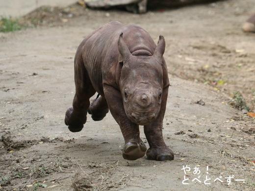 とべ動物園ヒガシクロサイの赤ちゃん:フーくん
