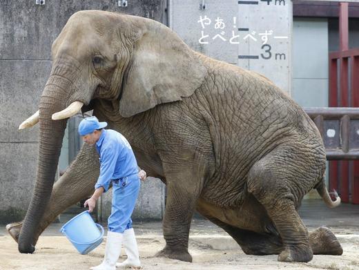 とべ動物園アフリカゾウ