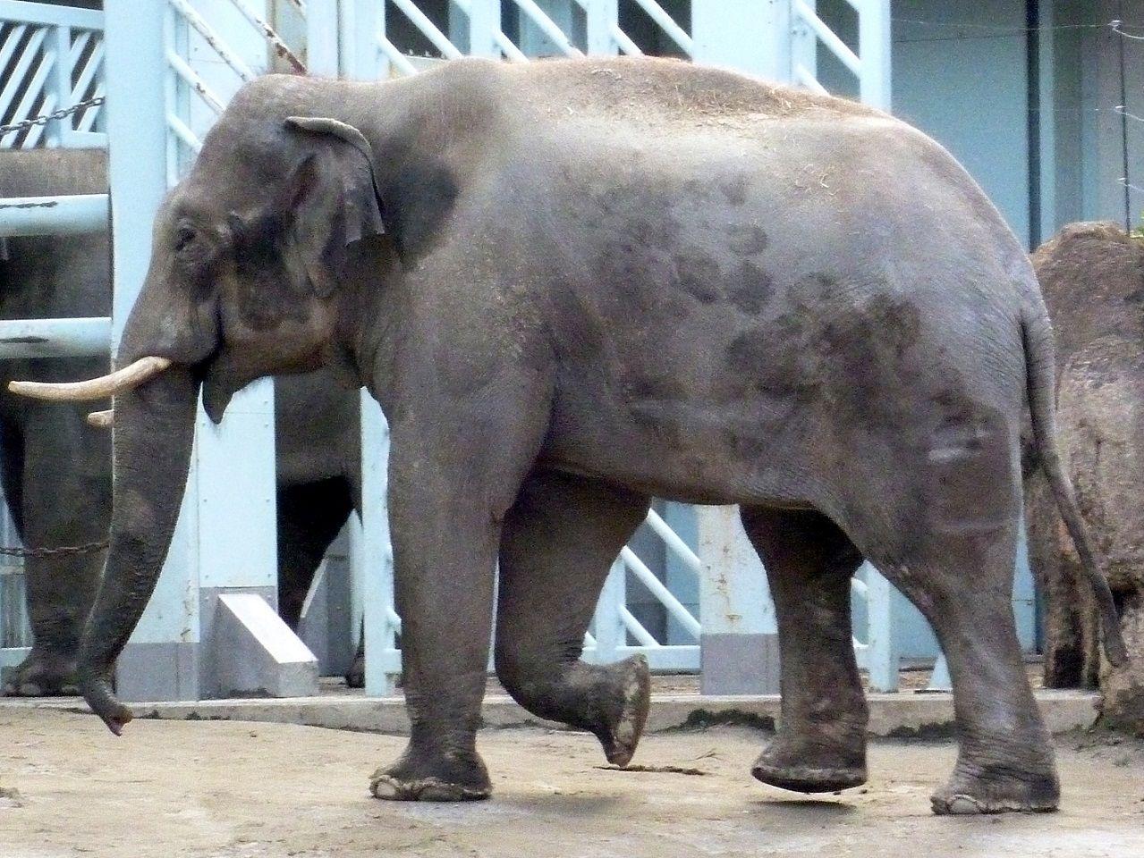 アジアゾウの画像 p1_17