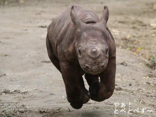8年ぶりに生まれたヒガシクロサイの赤ちゃん@とべ動物園(愛媛)