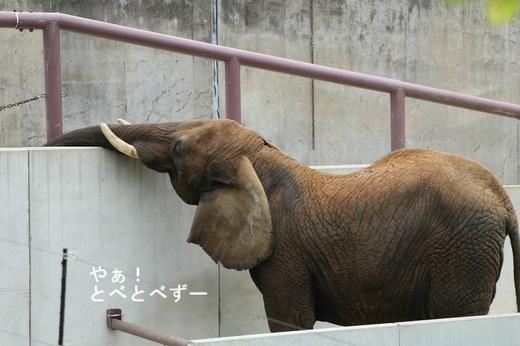 日本で唯一血縁関係のあるアフリカゾウの親子が暮らす愛媛とべ動物園