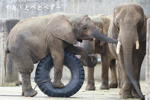とべ動物園アフリカゾウの親子:リカ母さんと砥愛ちゃん