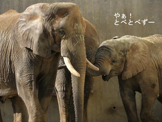 日本で唯一アフリカゾウの子象が見られる、とべ動物園:砥愛ちゃん