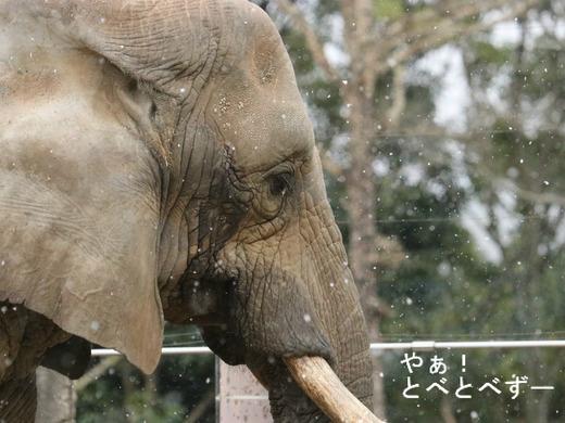 雪景色のとべ動物園アフリカゾウ舎