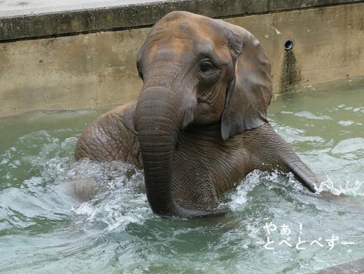 愛媛県立とべ動物園アフリカゾウ:媛ちゃん