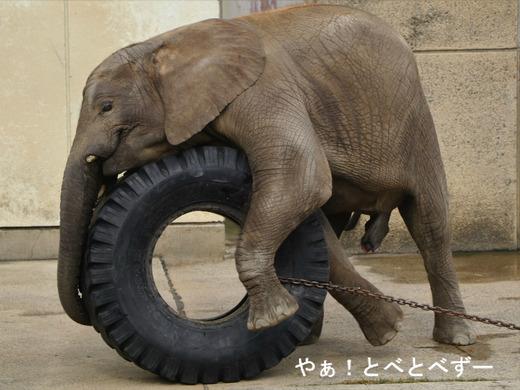 とべ動物園アフリカゾウ:タイヤで遊ぶ子象の砥愛ちゃん