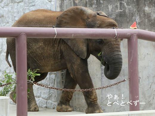 インディアの丘へのスロープを登る子象の砥愛ちゃん