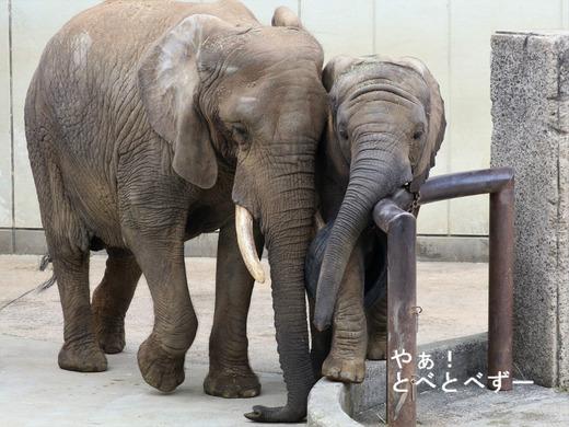 とべ動物園ブログ:砥愛、ティア、フー、ニコ、ハヤト