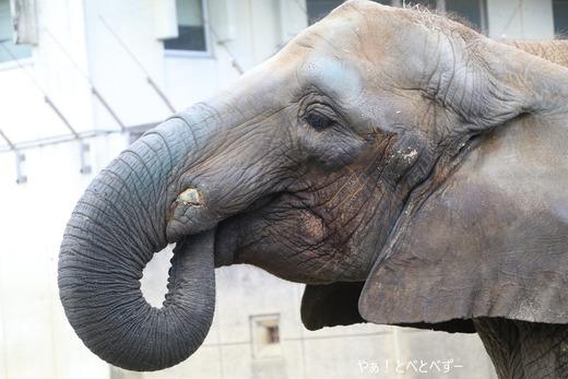とべ動物園アフリカゾウ:媛ちゃん(メス、14歳)