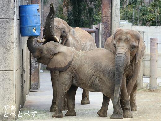 とべ動物園ブログ:砥愛、ティア、フー、レイ、ピース