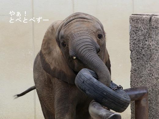 とべ動物園アフリカゾウ:仔象の砥愛ちゃん(メス、6歳)
