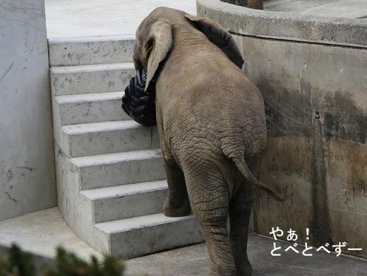 タイヤで遊ぶ子象の砥愛ちゃん(愛媛県立とべ動物園)