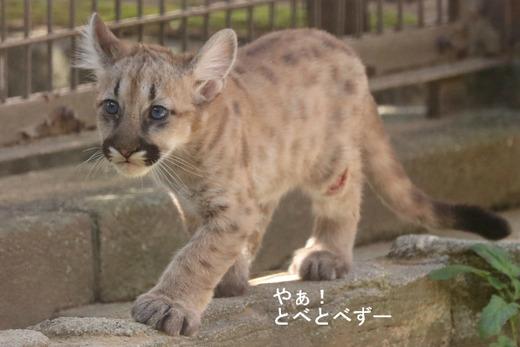 とべ動物園ブログ:ピューマの赤ちゃんが誕生♪