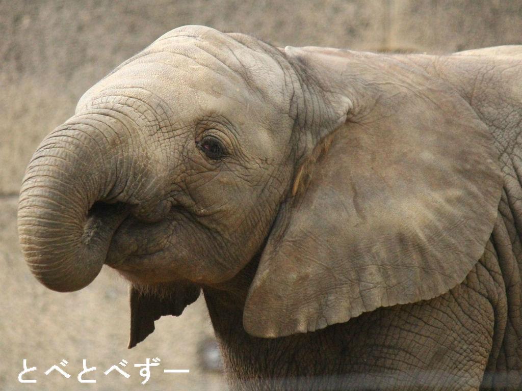 アフリカゾウの画像 p1_38