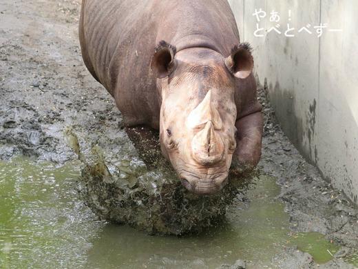 ヒガシクロサイの泥遊び:愛媛県立とべ動物園