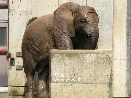 とべ動物園アフリカゾウ:砥愛ちゃん(メス、6歳)