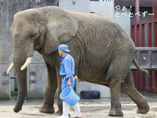 訓練をするアフリカゾウのお母さんゾウ(リカ)