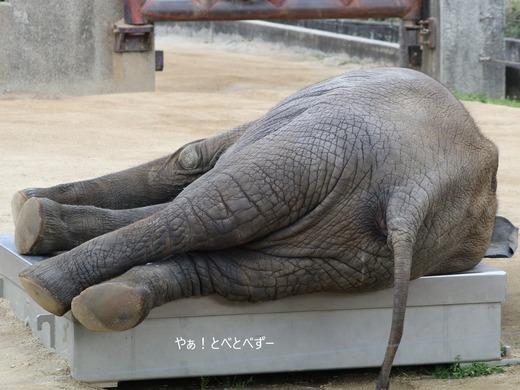 寝転んで寝るアフリカゾウの子ゾウの砥愛