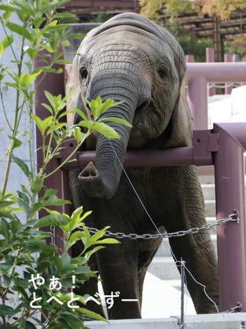アフリカゾウの子象の砥愛(とあ)ちゃん