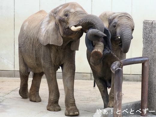アフリカゾウ写真家:矢野賢一(やぁ!とべとべず)