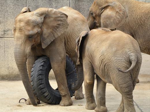 とべ動物園ブログ:媛、フー、ピース、ティア
