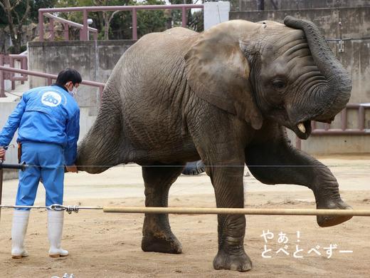 アフリカ象のトレーニング:足を上げる訓練